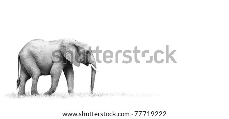 African Elephant with white background - stock photo