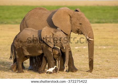 African Elephants, Amboseli, Kenya - stock photo