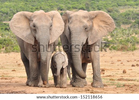 African Elephants and calf  - stock photo