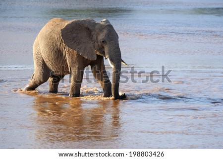 African elephants at a waterhole  - stock photo