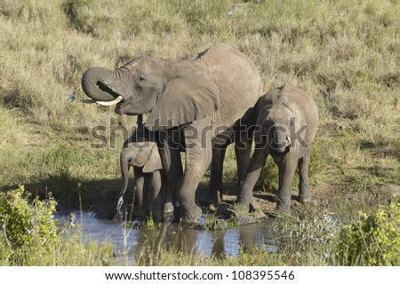 African Elephants at Lewa Conservancy, Kenya, Africa - stock photo