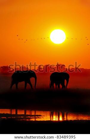 African Elephants at Sunset Loxodonta africana - stock photo