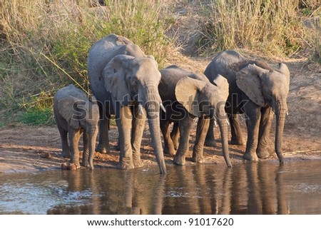 African Elephants drinking