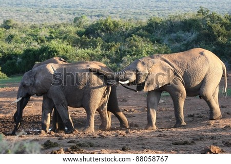 African elephants drinking at a small water hole - stock photo