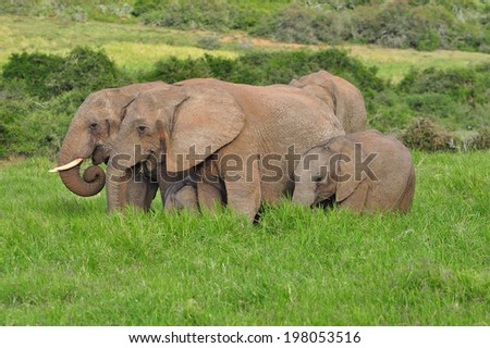 African Elephants eating in the savannah