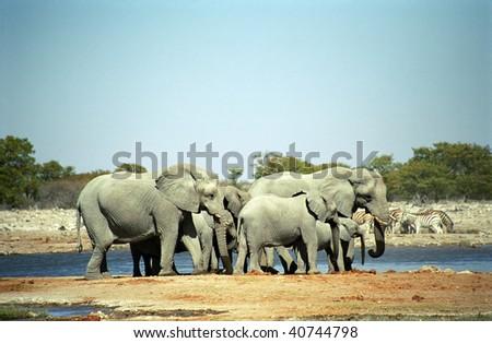 African elephants, Etosha National Park, Namibia - stock photo