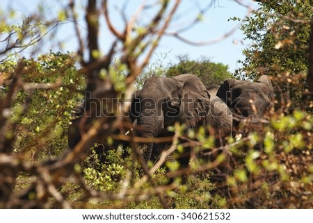 African elephants feeding in dense bush, in the Bwabwata National Park, Namibia