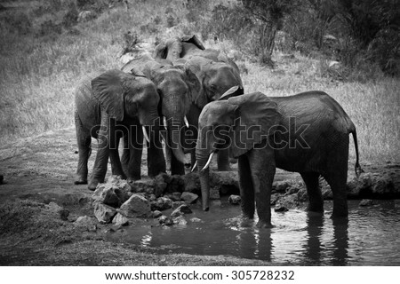 African elephants i n water hole in b&w style