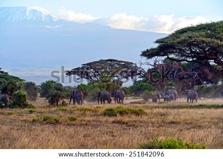 African elephants in Amboseli National Park . Kenya - stock photo
