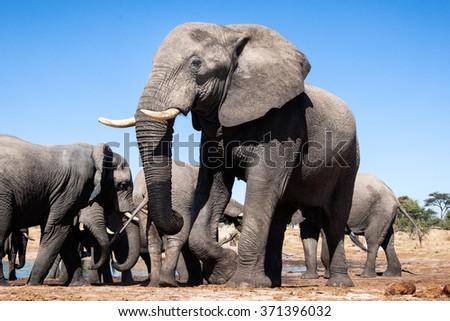 African Elephants in Botswana - stock photo
