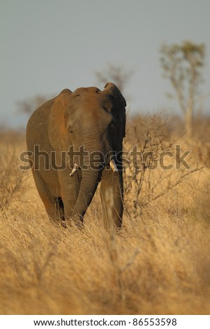 African Elephants in Kruger National Park, South Africa - stock photo
