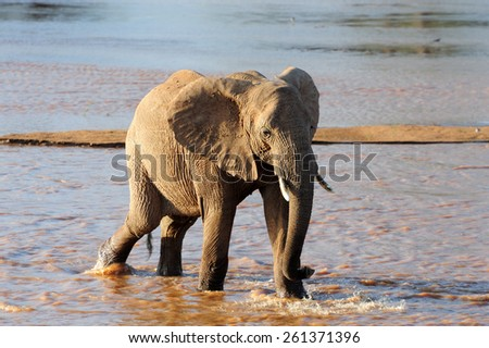 African elephants in river. National Park in Kenya, Africa - stock photo
