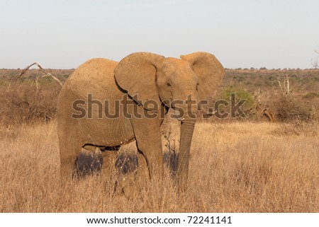 African Elephants in the Savannah of East Africa