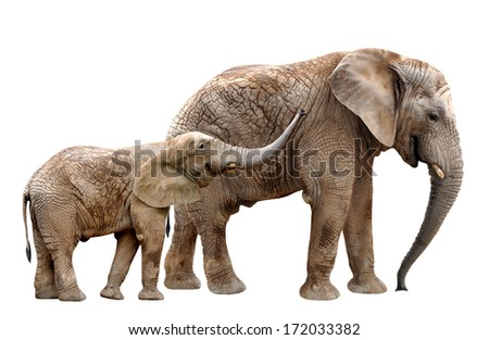 African elephants isolated on white - stock photo