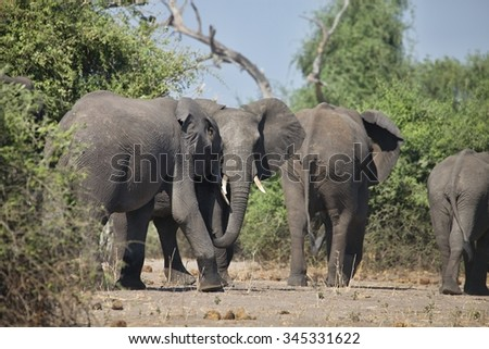 African elephants, Loxodon africana, in Chobe National Park, Botswana
