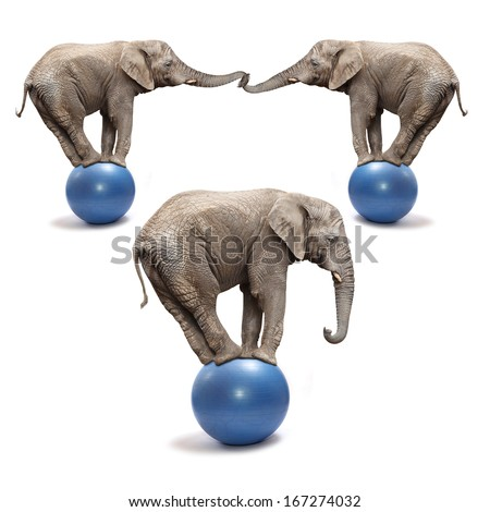 African elephants (Loxodonta africana) balancing on a blue balls. - stock photo