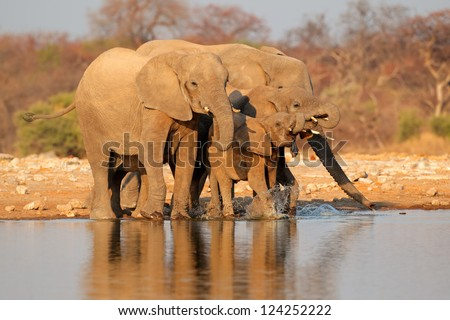 African elephants (Loxodonta africana) drinking water, Etosha National Park, Namibia - stock photo