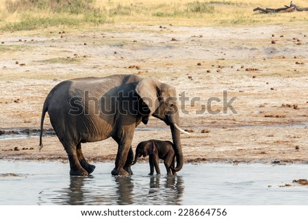 African elephants with baby elephant drinking at waterhole Hwange national park, Matabeleland, North Zimbabwe. True wildlife photography - stock photo