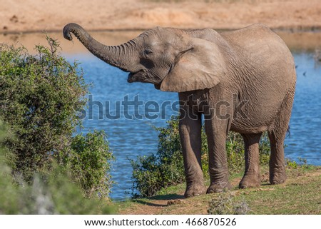 African female elephant with trunk outstretched to pick leaves off a tree