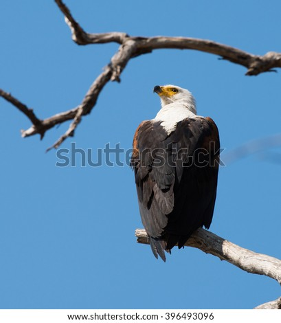African Fish Eagle - stock photo