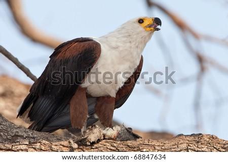 African Fish Eagle, Chobe National Park, Botswana - stock photo