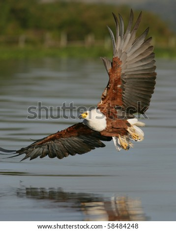 African Fish Eagle flying - stock photo