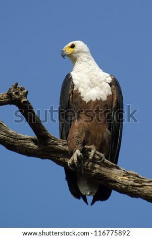 African Fish Eagle (Haliaeetus vocifer) - stock photo