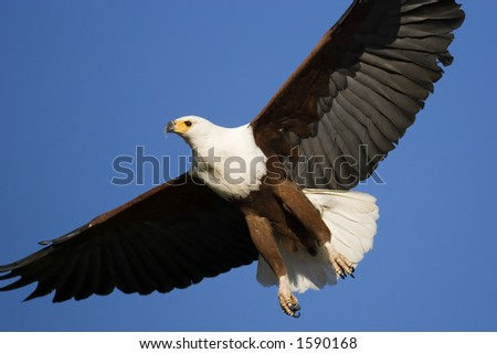 African Fish Eagle; Haliaeetus Vocifer; South Africa - stock photo