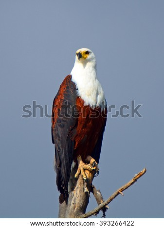 African fish eagle, Lake Naivasha, Kenya - stock photo