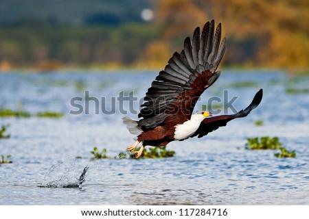 African fish eagle, Naivasha Lake National Park, Kenya - stock photo
