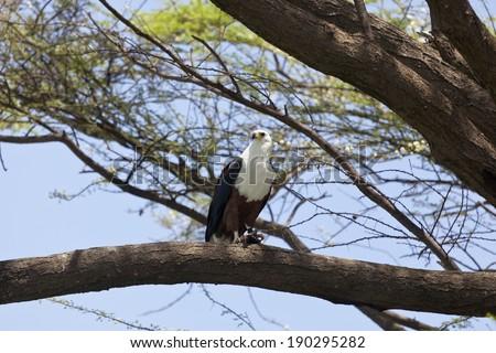 African Fish Eagle on a tree at Lake Baringo, Kenya - stock photo