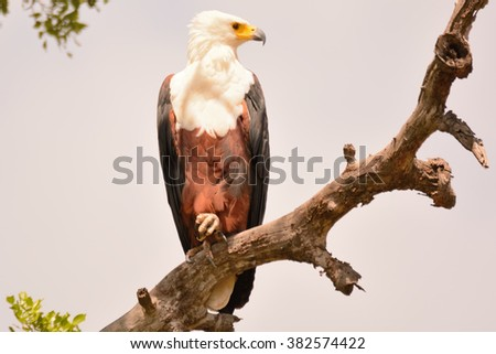 African fish eagle perched high observing the surroundings for prey - stock photo