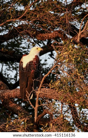 African fish eagle perched in tree over river - stock photo