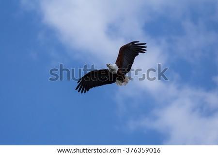 African Fish-Eagle soaring up high above Lake Naivasha. - stock photo