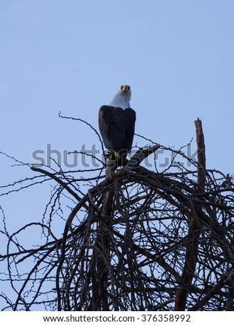 African Fish-Eagle turning its head. Sitting atop a tree at Lake Naivasha. - stock photo