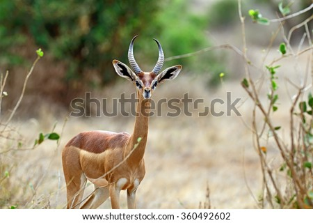 African Gazelle in the savannah of Tsavo gerenuk - stock photo