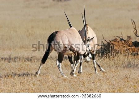 African gemsbok sparring playfully