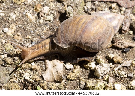 African giant snail� Achatina Achatina snail is an invasive species, Bali, Indonesia
