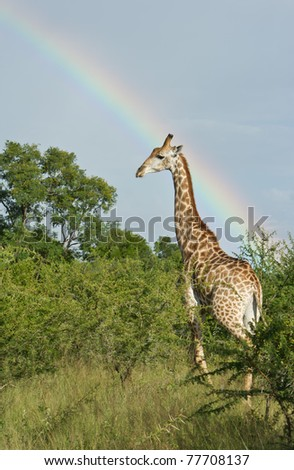 African giraffe against a rainbow backdrop in the Greater Kruger National Park, South Africa - stock photo