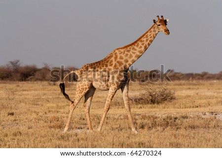 African giraffe, running, in its natural environment.