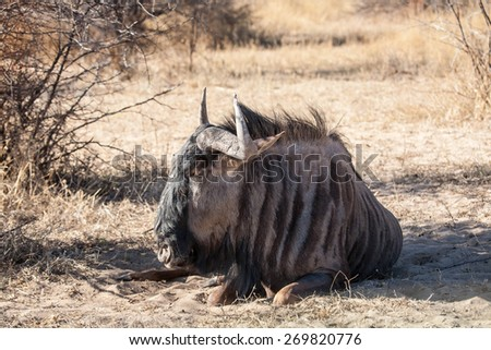 African gnu - stock photo