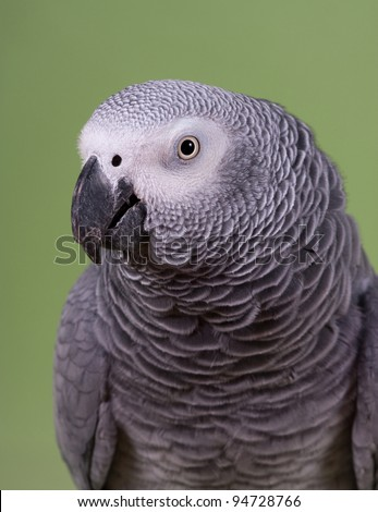African Gray parrot tropical bird on a green background - stock photo