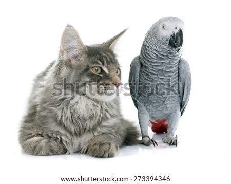 African grey parrot and maine coon cat in front of white background - stock photo