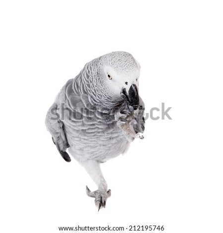 African Grey Parrot, isolated on white background - stock photo