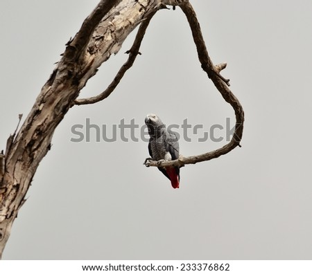 African grey parrot of red tail on dry tree branch - stock photo
