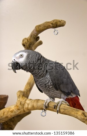 African Grey Parrot on Tree Stand - stock photo
