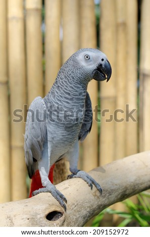 african grey parrot or psittacus erithacus - stock photo