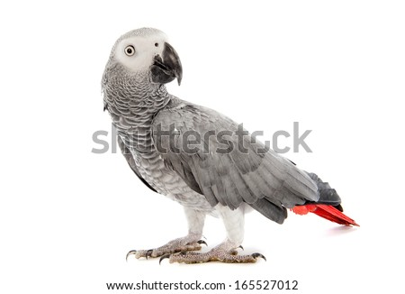 African Grey Parrot ,Psittacus erithacus in front of white background - stock photo