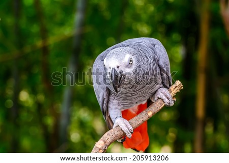 African grey parrot  sitting on tree branch. - stock photo