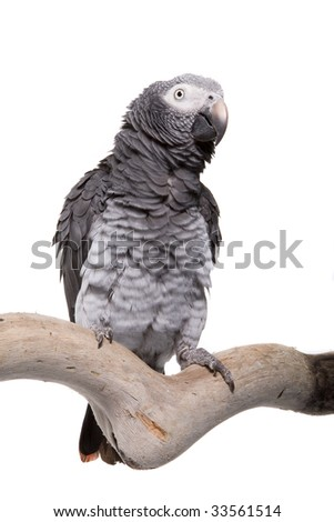 African Grey; Timneh, Psittacus erithacus timneh, West Africa, Guinea-Bissau, Sierra Leone, Mali, Ivory Coast, isolated on white
